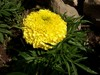 Bodacious_marigold