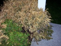 Dead_shrub